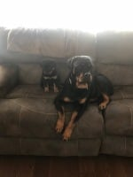2 rottweilers sitting on couch