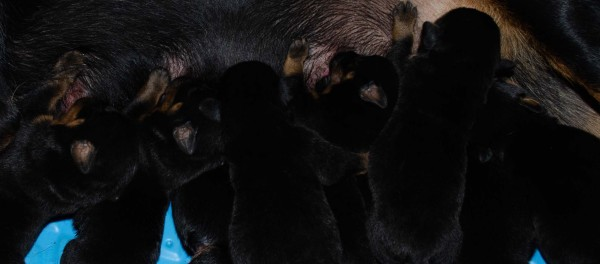 Our Rottweiler puppies for sale
